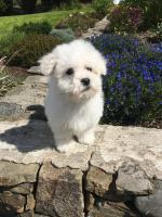 Bichon Frise for sale.