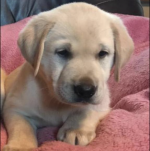 Golden Labrador for sale.