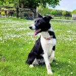 Sheepdog border collie for sale.