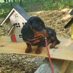 Mini Dachshund Puppy for sale.