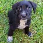 Female Cocker Spaniel puppy for sale.