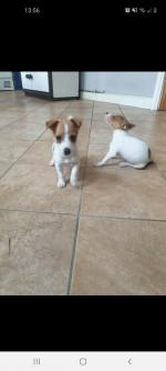 Lola Jack Russell Female for sale.