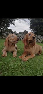 Hungarian Vizsla puppies for sale.
