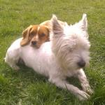 Westie and Mix Breed cavalier king charles [sold].