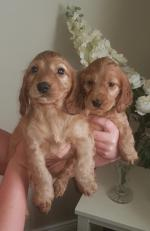 GOLDEN RED COCKER SPANIEL PUPPIES for sale.