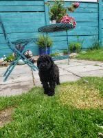 Toy Poodle for sale.