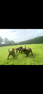 1 Male 2 Female left Chocolate Labs for Sale can collect from today for sale.
