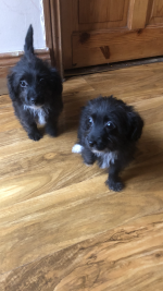 Poodle in Cork for sale.