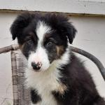Collie for sale.