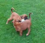 Boxer girls Amie & Allie for sale.
