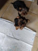 Yorkshire terrier pupies for sale.