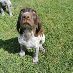 German pointer Males for sale.