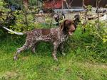 Short haired German pointer for sale.