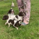 Springers Spaniels for sale.
