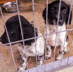 Springer spaniel male puppies for sale.