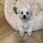 Maltichon puppies for sale.