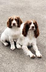 Male springer puppy for sale.