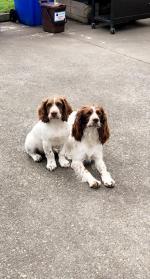 Springer spaniel puppy for sale.