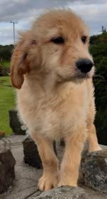 Golden Doodle in Mayo for sale.