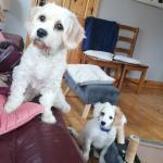 Cavachon Male puppy for sale.