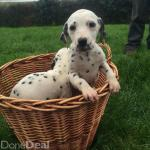 Dalmation for sale.