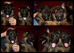 World class german shepherd puppys for sale.