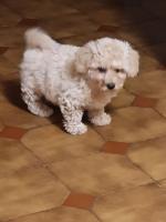 Poodle x Bichion  =Poochon for sale.