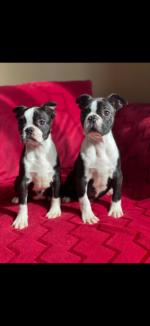 Boston Terrier for sale.