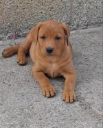 Fox Red Labradors for sale.