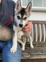 1 Male LEFT Purebred Siberian Husky Pups for sale.