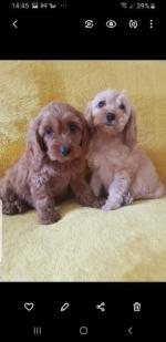 Cockapoo puppy litter for sale.