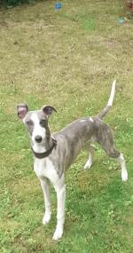 Whippet- Chase for sale.