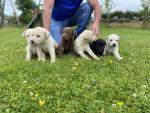 Labrador puppys for sale.
