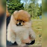 Versace Pomeranian for sale.