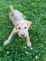Pure breed Wheaten terrier for sale.