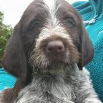 German Wire haired Pointers in Cork for sale.