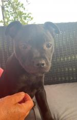 Staffordshire bull terrier male for sale.