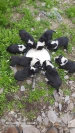 Border Collie Pups for sale.