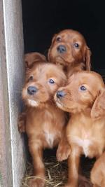 Setter pups in Limerick for sale.