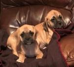 Puggle Puppies (Beagle x Pug) for sale.