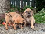 Puggle pups for sale.