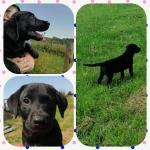 IKC registered working Labrador puppies for sale.