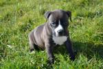Amstaff for sale.