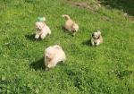 Bichon frise x Shihtzu male pups for sale.