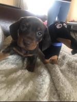 Beautiful miniature pedigree IKC dachshund puppies for sale.