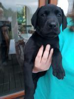Labrador Dobermann Rottweiler for sale.