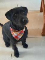 Buster - Terrier  x Lab , 1YO for sale.
