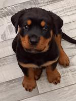 Rottweiler puppies for sale.