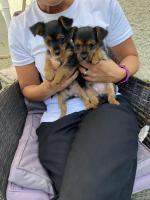 2 male Yorkie puppies for sale.