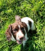 Springer pups in Westmeath for sale.
